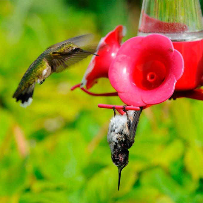 hummingbird hanging upside down