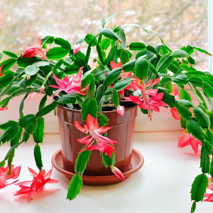 christmas cactus nontoxic houseplants