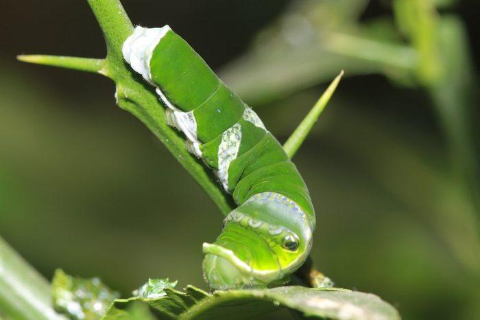 Asian swallowtail instar caterpillar