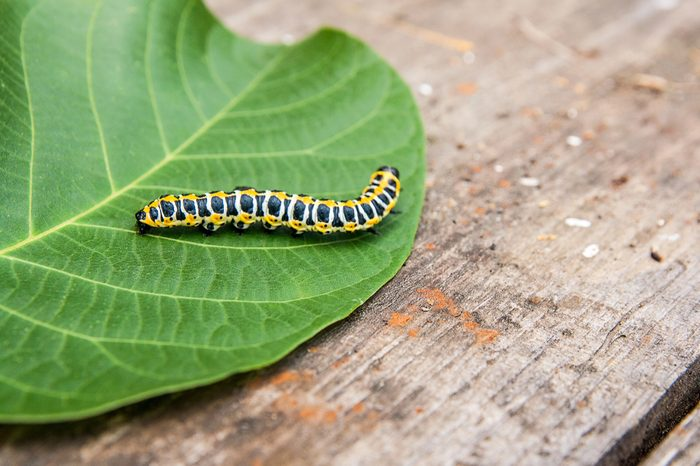Beautiful caterpillar creeps on big green leaf. Caterpillar of the Old World Swallowtail butterfly of the family Papilionidae. The butterfly is also known as the common yellow swallowtail