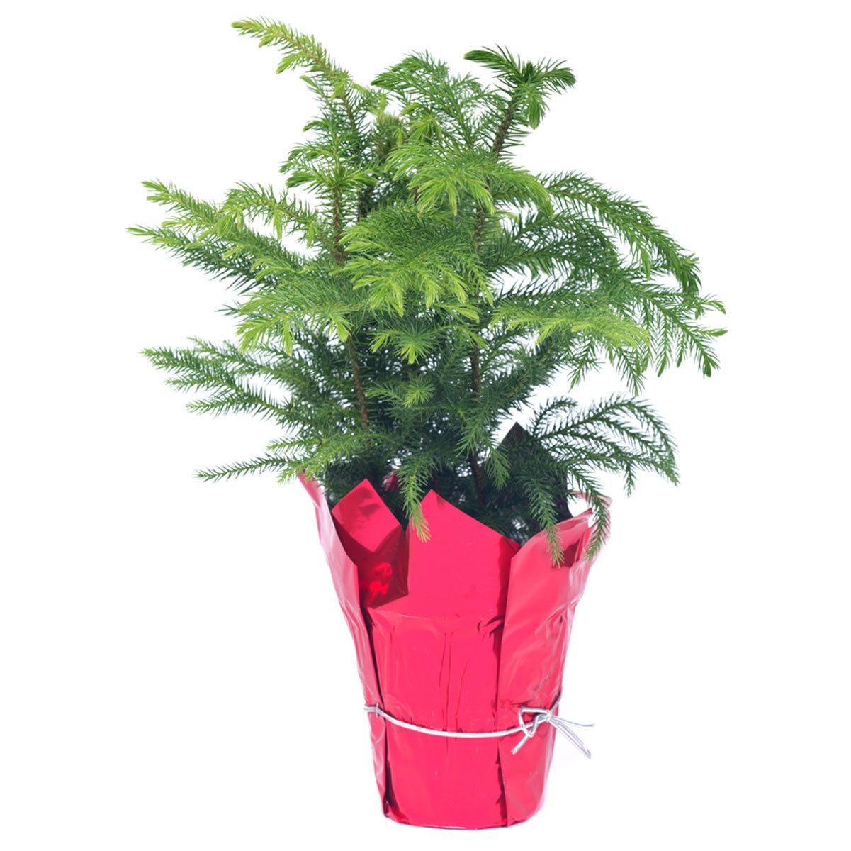 Norfolk island pine tree