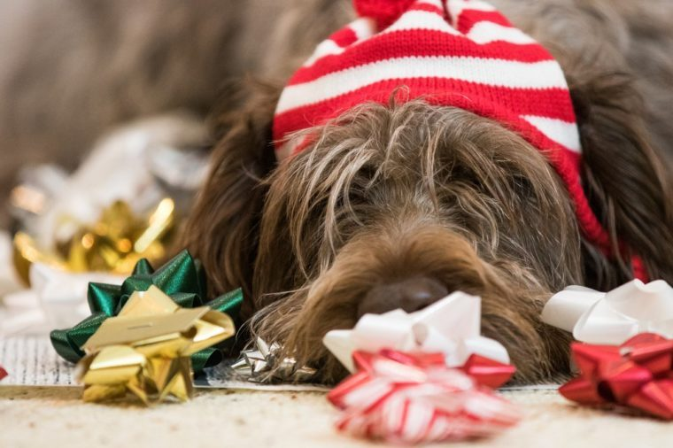 Wirehaired pointing griffon getting ready for Christmas