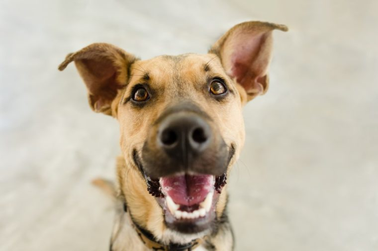 Happy dog is a happy dog smiling looking funny and excited with his mouth open looking right at you.