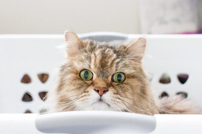 Portrait of a brown, long haired adult cat sitting inside of a white laundry basket
