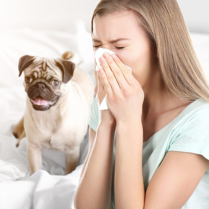 pug home allergens sneeze allergies