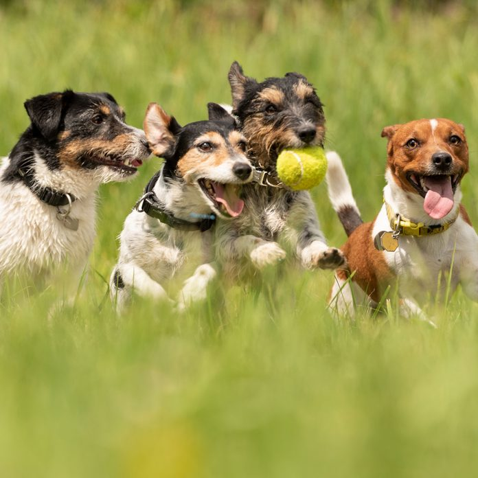 Many-dogs-run-and-play-with-a-ball-in-a-meadow-a-cute-pack-of-Jack-Russell-Terriers