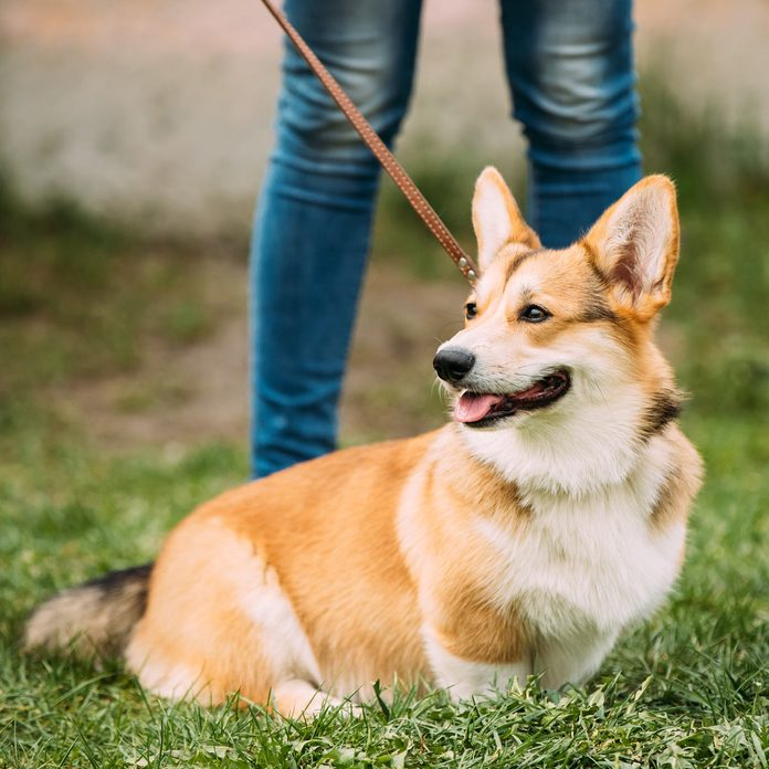 Red-Pembroke-Welsh-Corgi-Dog-Sitting-In-Grass