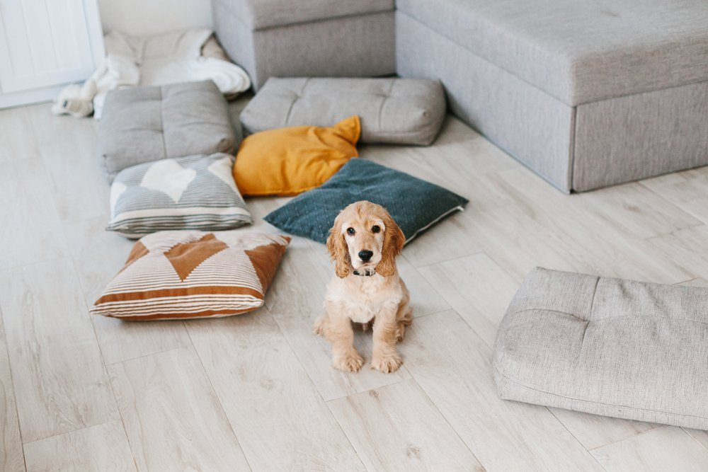 English cocker spaniel puppy sitting on pillows on wooden floor at home. Raising a dog puppy