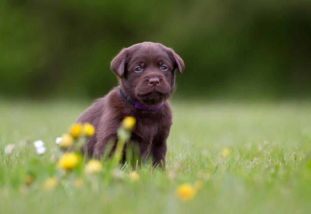 Young puppy of brown labrador retriever dog photographed outdoors on grass in garden.