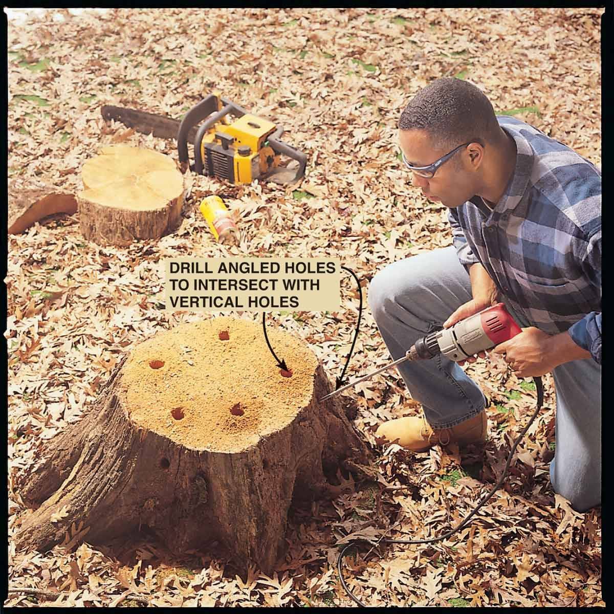 Drilling holes in a tree stump
