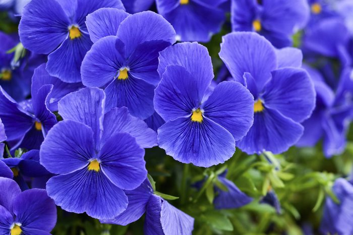 A bunch of blue violets