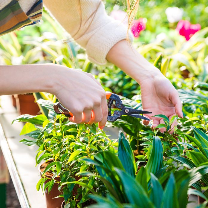 Closeup of hand of woman gardener trimming plants with pruning shears in garden center
