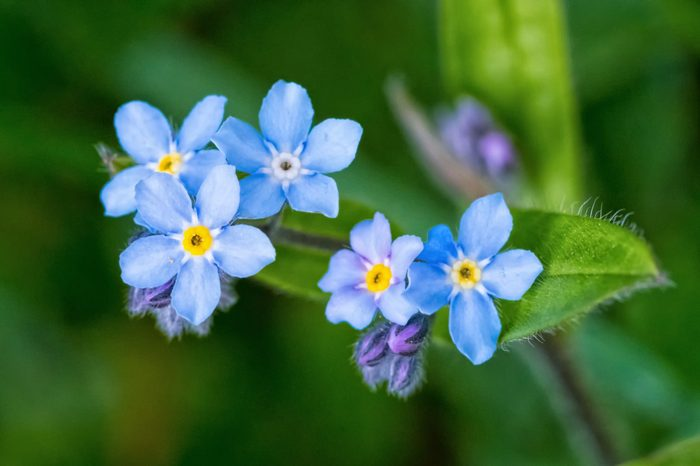 Macro of blue flowers with nice blurred background
