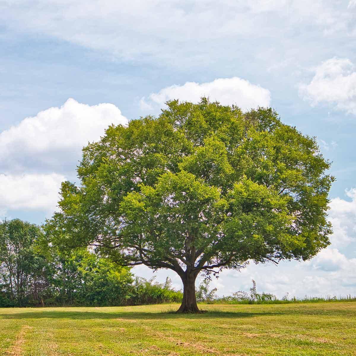 large tree in open yard
