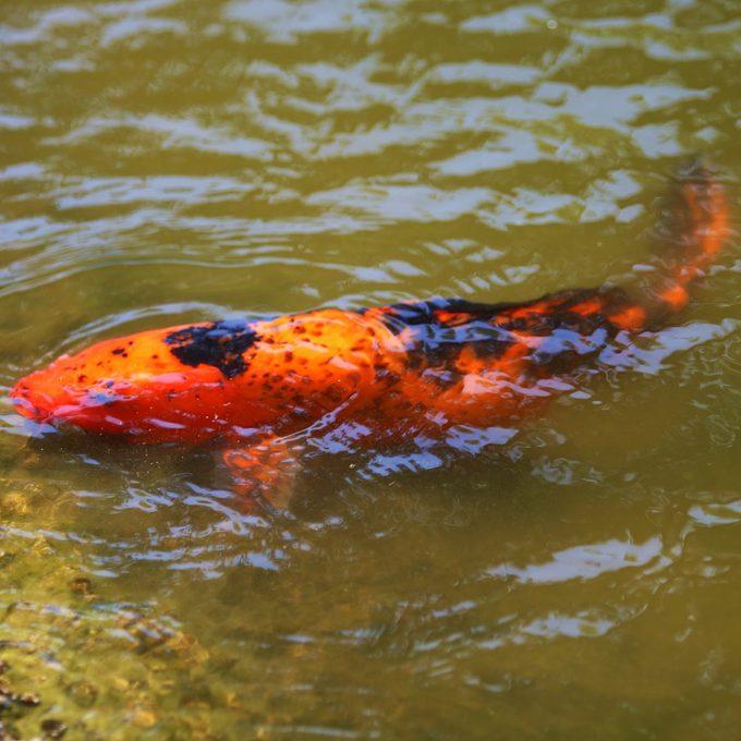 Giant Goldfish Near Shore