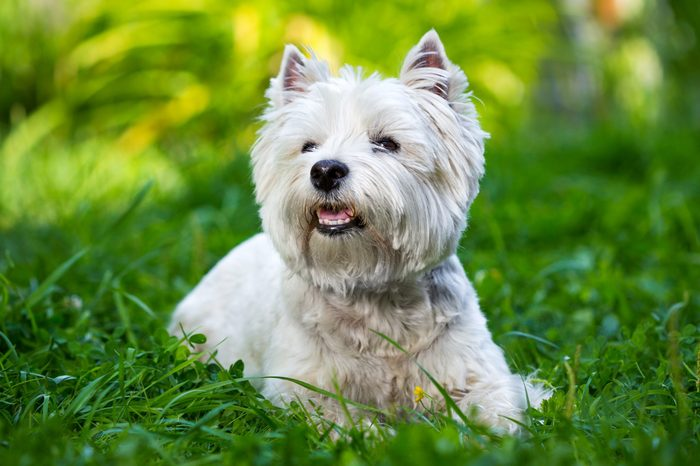 West Highland White Terrier lies in green grass
