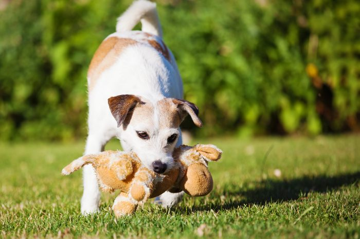 Parson Russell Terrier adult plays with a soft toy