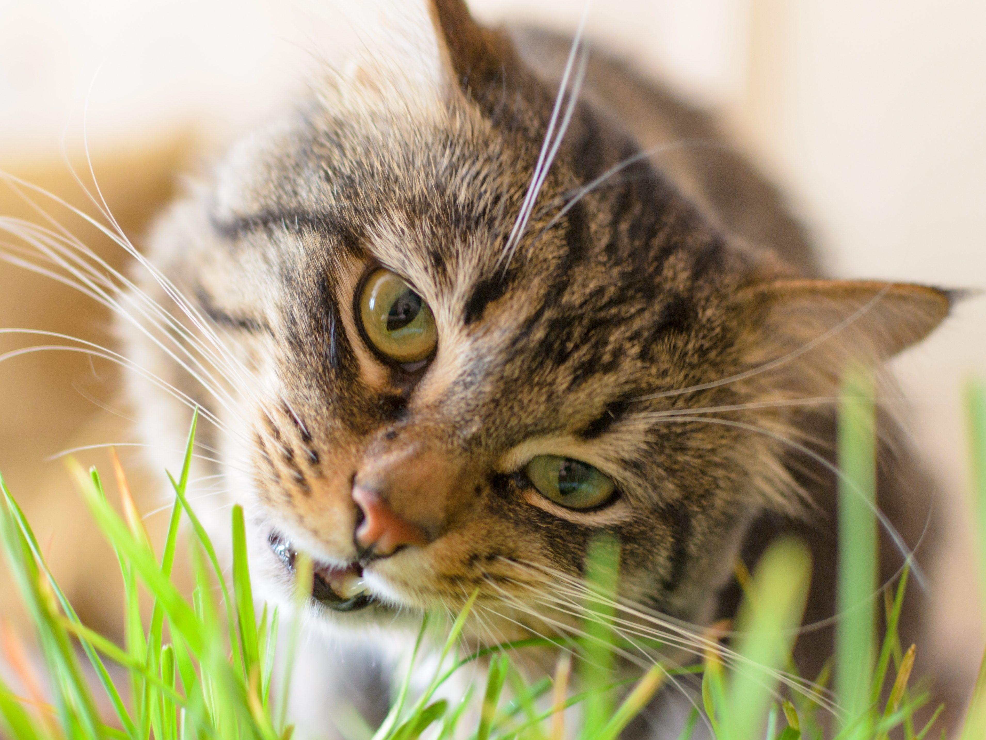 Beautiful,fluffy cat eating green grass.Horizontal .