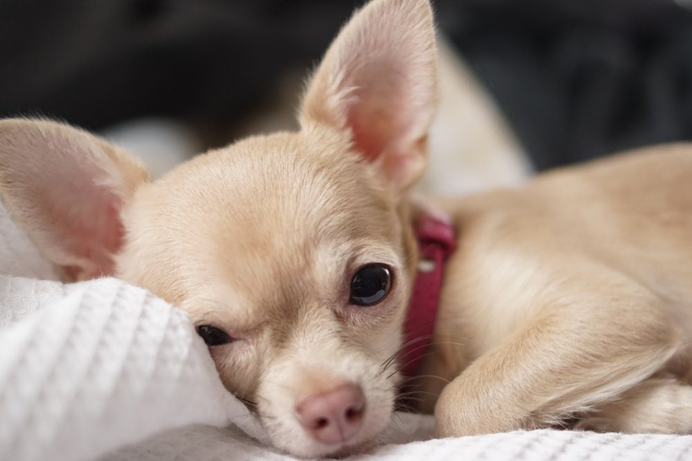 The Chihuahua is the smallest breed of dog and is named after the state of Chihuahua in Mexico