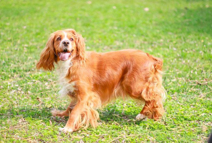 English Cocker Spaniel dog