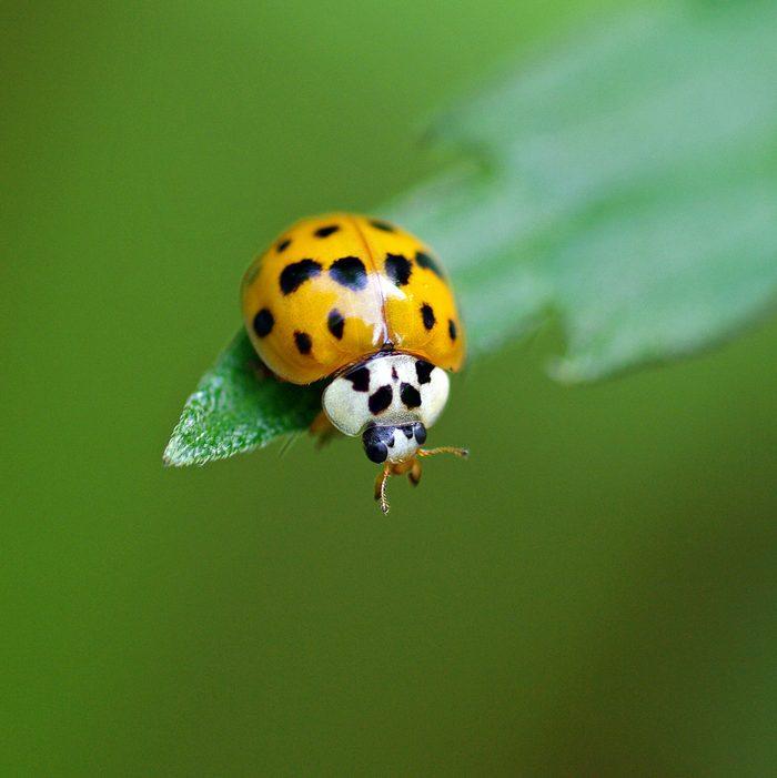 Asian ladybug sits on a green leaf