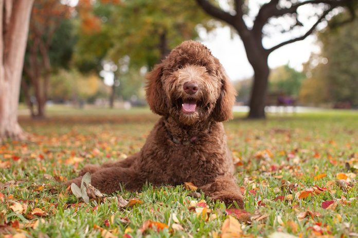 Pet Labradoodle Laying in Autumn Leaves