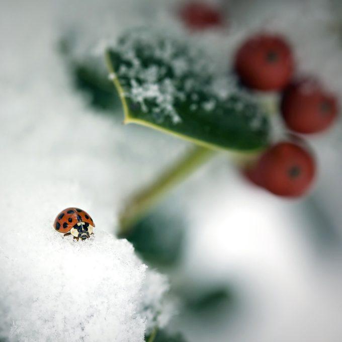 ladybug in snow winter