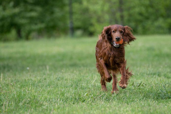 Irish setter runs across the field.Selective focus on the dog