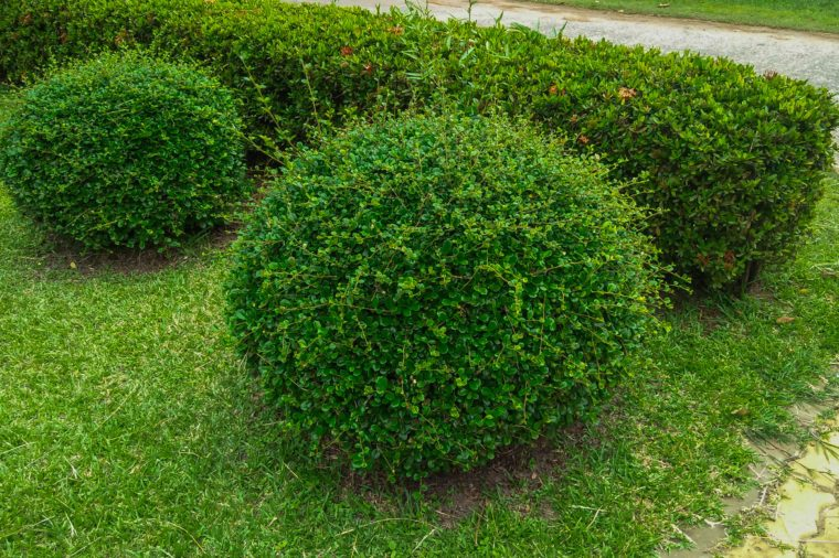 shrubs of lawn in the garden . shrubs image