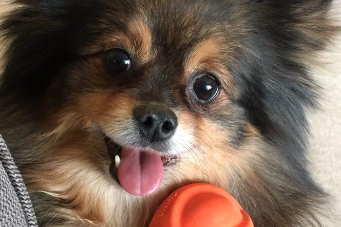 Pomeranian posing with orange ball