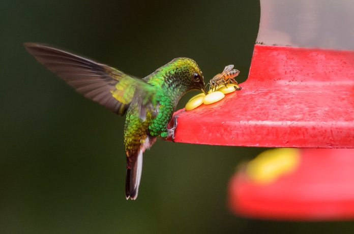 A Green-crowned Brilliant (Heliodoxa jacula) with a bee on a feeder.