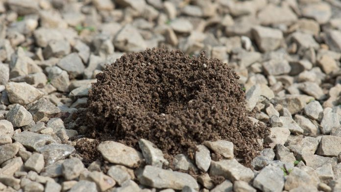 Pavement ants have built a small anthill, on a gravel sidewalk.