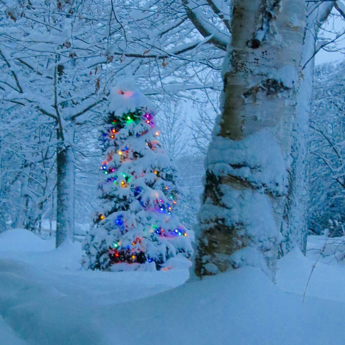 snow covered pine tree with christmas lights