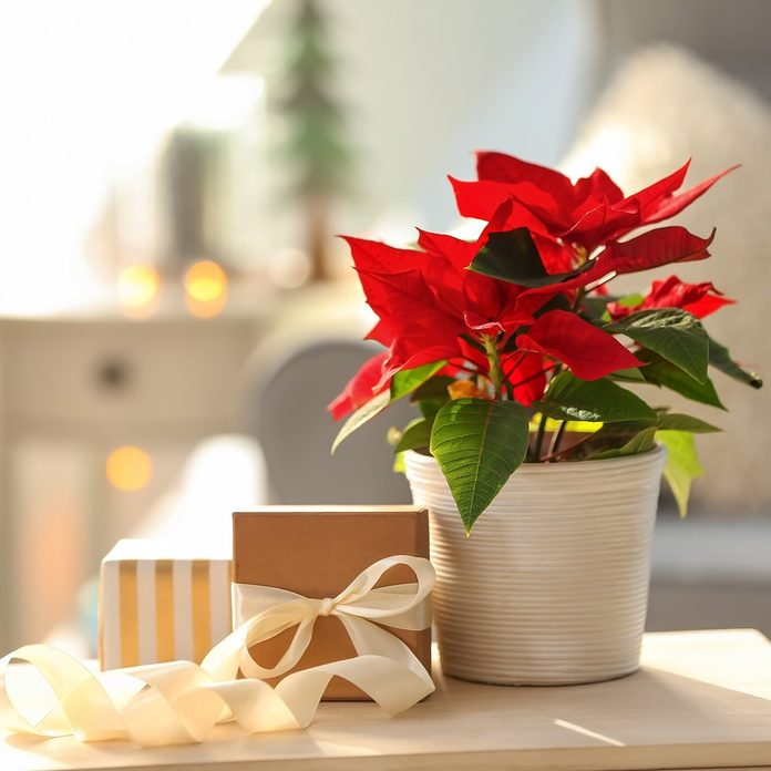 Christmas flower poinsettia with gift boxes