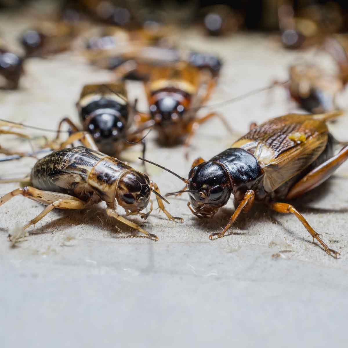 Pile-of-crickets