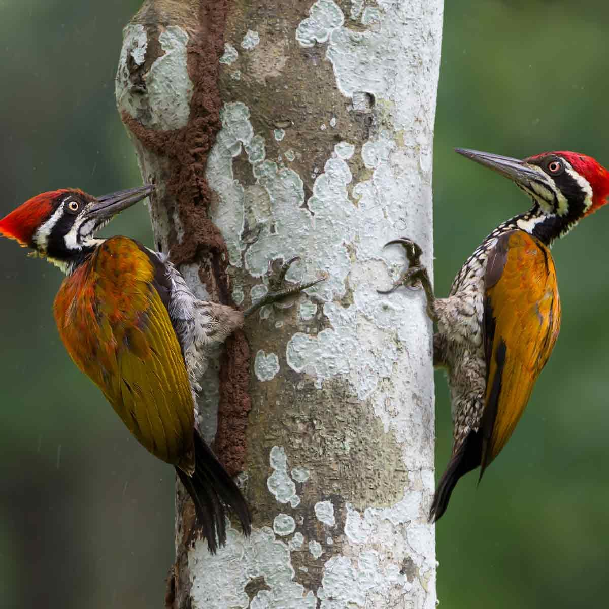 Two-woodpeckers-share-a-tree