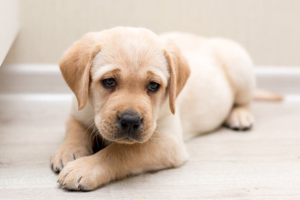 Labrador Retriever Pale Colors