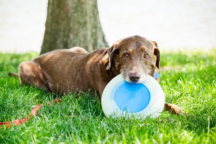 Chocolate labrador retriever dog sitting at the park with a flying disc in his mouth under a tree