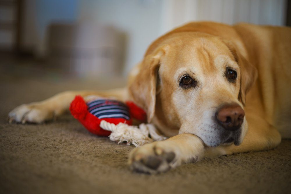 Closeup and soft focused picture of a male Labrador Retriever at home. Labrador retriever with his toy, looking sad.