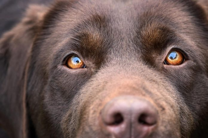 Chocolate Labrador Retriever girl - reflection of human silhouette in her eyes