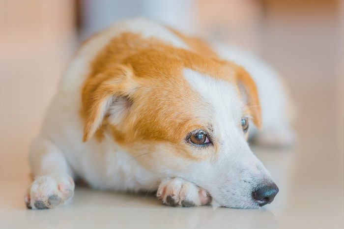 A portrait photo of a brown and white young dog lay down on the floor. Not looking to the camera. Indoor photo.