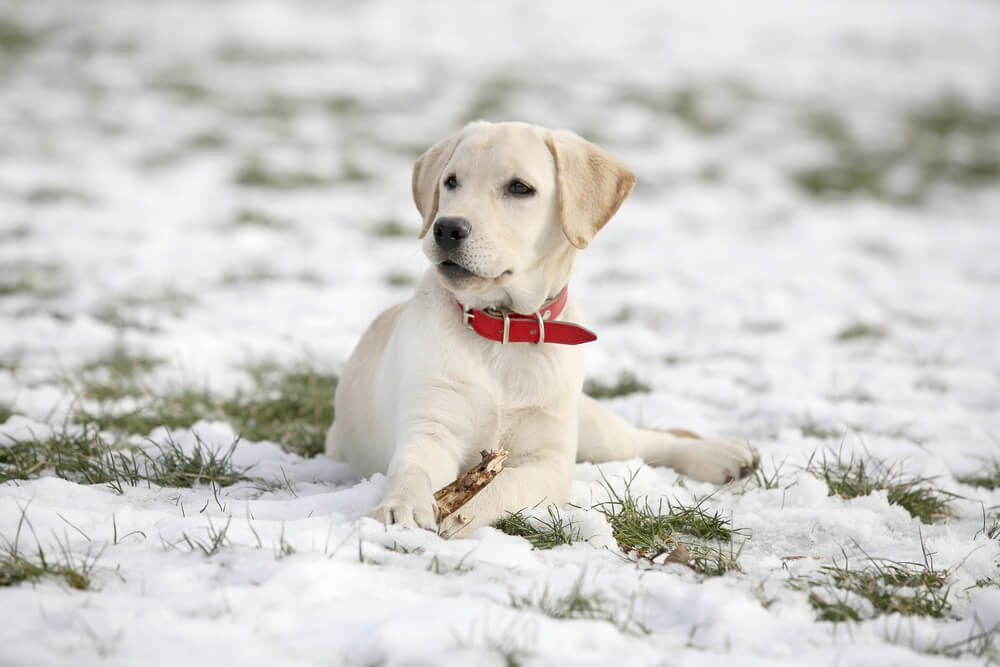 White Labrador retriever puppy on snow