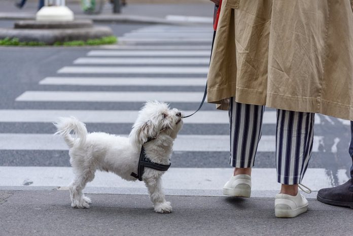 Poodle dog close together to owner walking with leash