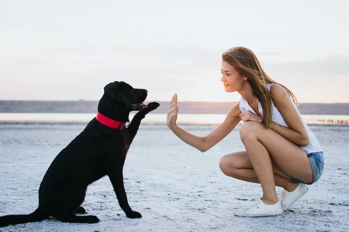 Young female training labrador retriever dog on the beach at sunset
