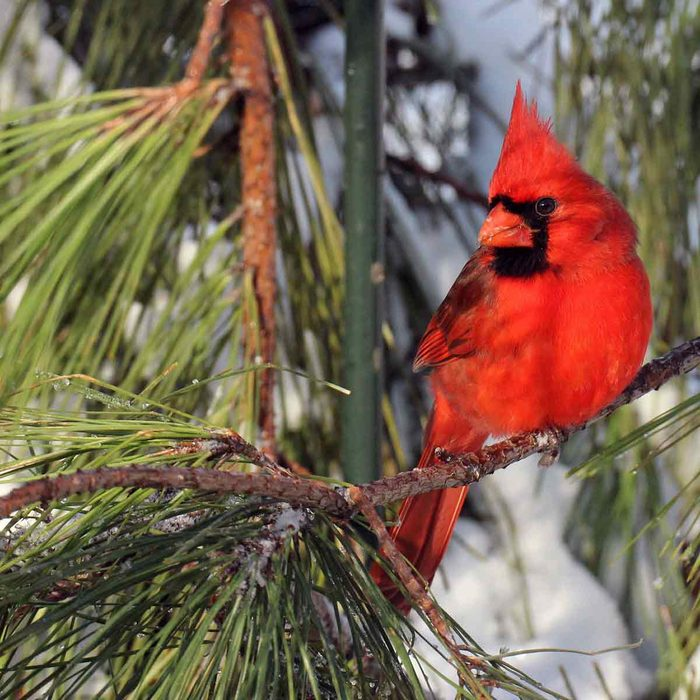 Cardinal-sitting-on-a-pine-tree-branch