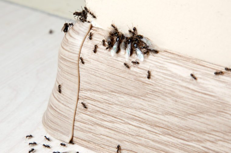 Insects. Ants in the house on the baseboards and wall angle