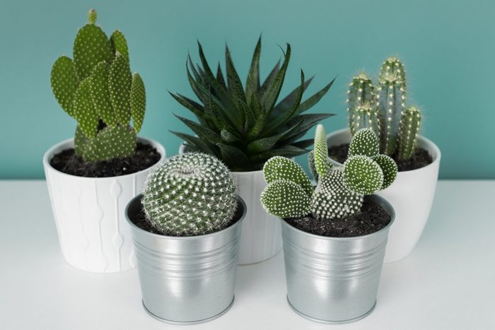 Collection of various cactus and succulent plants in different pots. Potted cactus house plants on white shelf against turquoise colored wall. Top view.