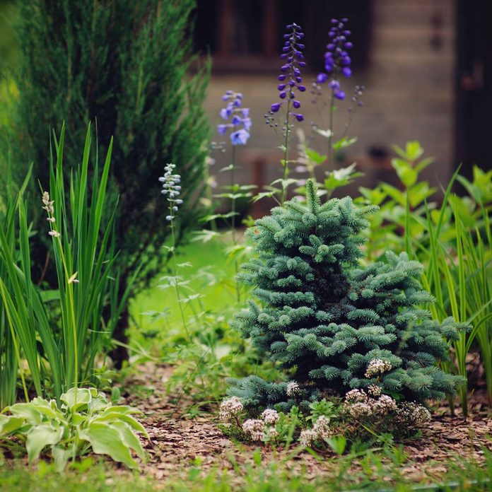 dwarf pine tree plants