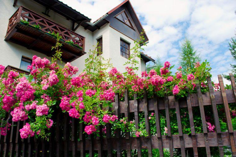 Rose bushes.