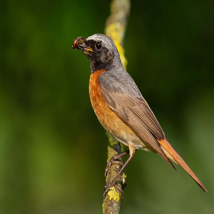 Bird eating earwig